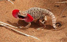Abrir la boca para meter miedo Este lagarto de la especie Phrynocephalus mystaceus cuando está tranquilo no presenta ninguna diferencia res...