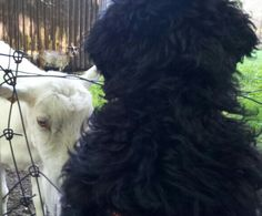 Moos!, four months old today, accepts good wishes from Mrs. Goat 20130808
