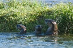 A river otter family pop their heads out of Soda Butte Creek in Yellowstone National Park.  www.canalrivertrust.org.uk