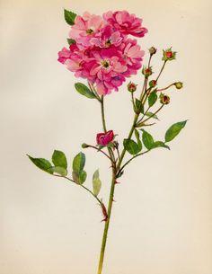 Lovely Vintage Rose Print Pink Rose Botanical by plaindealing