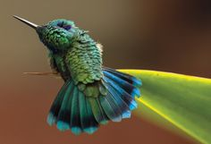 Hummingbird (C. thalassinus) by Barbara Driscoll