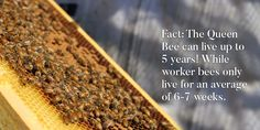 FACT: The queen bee can live up to 5 years! While worker bees only live for an everage of 6-7 weeks! Why?.... Find out here! Royal Jelly Benefits, Worker Bee, Queen Bees, 5 Years, How To Dry Basil, How To Find Out, Herbs, Facts, Canning