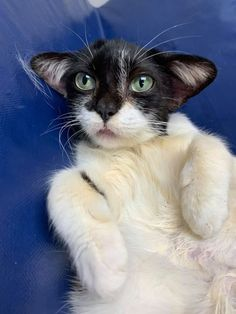 This adorable kitty has been dubbed Baby Yoda Cat by its rescuers for it's resemblance to the new star wars character Baby Yoda. I Love Cats, Cute Cats, Funny Cats, Crazy Cats, Gremlins, Yoda Cat, Dobby The Elf, Carolina Do Norte, North Carolina