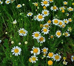 Herb Seeds - Chamomile Roman - 2500 Seeds