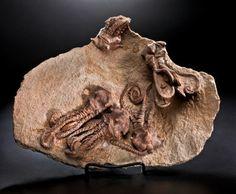 EXCEPTIONAL CRINOID MORTALITY SLAB Jimbacrinus bostocki Permian Cundlego Formation, Gascoyne Junction, Australia