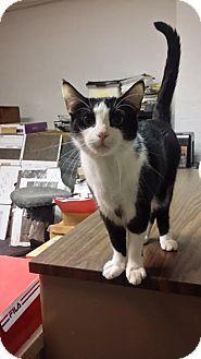 Philadelphia, PA - Domestic Shorthair. Meet Tuxie, a cat for adoption. http://www.adoptapet.com/pet/15311422-philadelphia-pennsylvania-cat