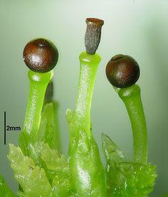 Capsules from Sphagnum moss