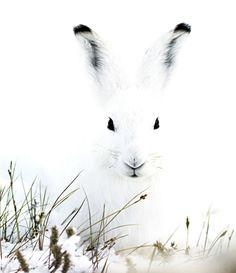 Arctic hare in Greenland.