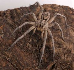 This active hunter, the wolf spider (Hogna antelucana), searches for food on foot, aided by sharp vision and its ability to sense vibrations; like those of the beating wings on an insect or the patter of steps on the soil. Big Spiders, Wolf Spider, Spider Bites, Itsy Bitsy Spider, Amazing Spider, Animals Of The World, Creepy, Scary Bugs, Spider Species