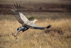 Secretary Bird by Chris Petersen on 500px