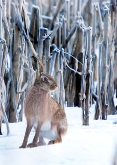 Hare in the snow Animals And Pets, Cute Animals, Animals In Snow, Wild Animals, Baby Animals, Beautiful Creatures, Animals Beautiful, Animal Pictures, Cool Pictures