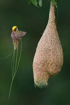 I built a nest, but it came unravelled. ~ETS (Weaver bird building nest)