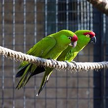 Thick-billed parrot - Wikipedia, the free encyclopedia