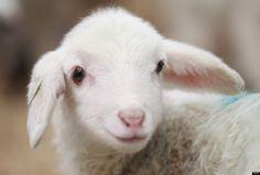 A merino lamb only a few days old stands in a pen at the Educational and Reserach Station for Animal Breeding (Lehr- und Versuchsanstalt fuer Tierzucht und Tierhaltung, or LVAT) in Brandenburg state on January 27, 2012