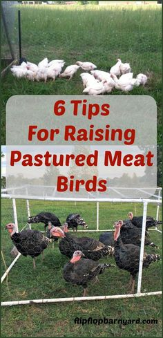 How to raise pastured meat birds on the homestead. Here are some tips for raising free range poultry.