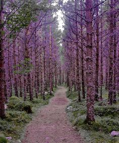 Pretty purple trees.