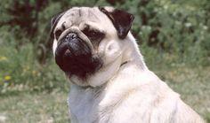 Pug Breed Information