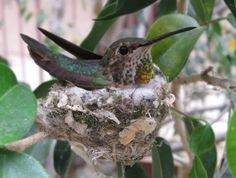 hummer nest Hummingbird Nests, Hummer, Watercolor Paintings, Birds, Amazing, Pretty, Pictures, Animals, Photos