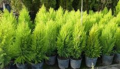 The dwarf pine is a species that is planted in a pot and usually does not reach more than 3 meters in height. Its growth is slow and its leaves are long Irrigation, Dwarf Evergreen Shrubs, Culture, Terrazzo, Container Gardening, Bonsai, Entrance, Pergola, Leaves