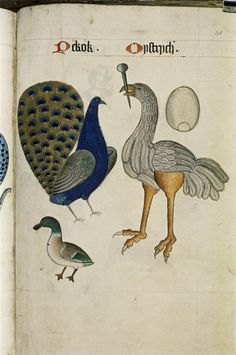 Peacock and Ostrich from The Tudor Pattern Book. Bodleian Library, MS. Ashmole 1504.    Between 1520 and 1530.