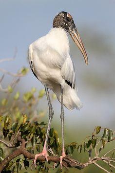 Mycteria americana (Wood Stork), Royal Palm, Anhinga Trail, Everglades National Park, Florida by Nick Parakeet Colors, River Of Grass, Everglades National Park, Florida Everglades, Stork Bird, World Birds, Kinds Of Birds, Exotic Birds, Birds Of Prey