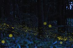 Time lapse photograph by Tsuneaki Hiramatsu of fireflies at night
