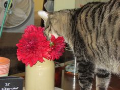 I picked some Dahlias from my garden and put them on the coffee table. Cat decided to do a face plant in them.