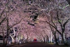 0291 知覧特攻平和会館の夜桜 (写真)|視聴者投稿 『KTSくらぶ 』 (旧 かごしま百景)|KTS 鹿児島テレビ