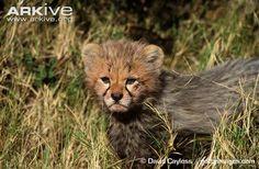 Cheetah photo - Acinonyx jubatus - G113717 | ARKive