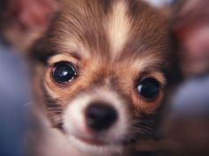long coat chihuahua - Bing Images