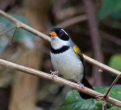 Foto tico-tico-de-bico-amarelo (Arremon flavirostris) por Dario Sanches | Wiki Aves - A Enciclopédia das Aves do Brasil