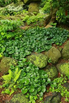 Love this ground cover combo. Moss, Ferns, Asarum europaeum (European Wild Ginger)....