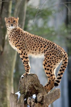 Favorite big cat❤️ The Cheetah is build differently from other large cats for speed.  Longer body and longer legs and not heavy boned.