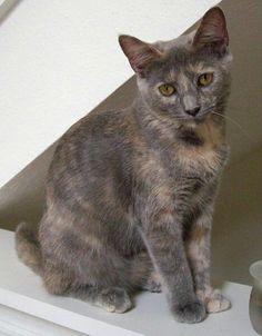 Grey Tortoiseshell Cat