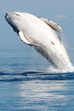Humpback whale season is the best season in Maui and whale watching should be on the bucket list! Orcas, Reptiles, Mammals, Save The Whales, Ocean Creatures, Humpback Whale, Sea And Ocean, Sea World, Ocean Life