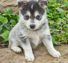 Cute, silly, and suited for apartment life , the Pomsky is a dog that likes to be the center of attention, and with their adorable looks a...