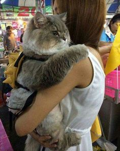 Meet Bone Bone, The Enormous Fluffy Cat From Thailand That Everyone Asks To Take A Picture With - Cats - Katzen Animals And Pets, Baby Animals, Funny Animals, Cute Animals, Sleepy Animals, Animals Images, Funniest Animals, Funny Horses, I Love Cats