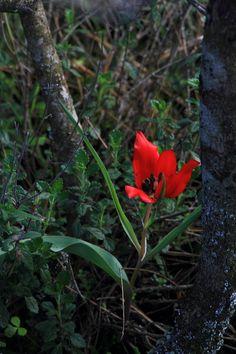 Armenian Tulip - Tulipa armena ssp lycica