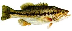 State Fish: Kentucky Spotted Bass, adopted 1956