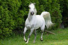 grey arabian horse - Google Search Horses, Grey, Glitter Hearts, Artist, Animals, Image, Deviantart, Google Search, Arabian Horses
