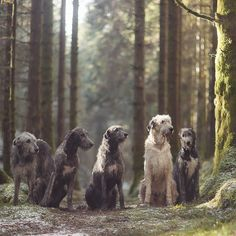 Dog Breed of the Week: Irish Wolfhound PawPost Big Dogs, I Love Dogs, Dogs And Puppies, Cute Dogs, Lazy Dog Breeds, Potato Dog, Saarloos, Scottish Deerhound, Irish Wolfhounds