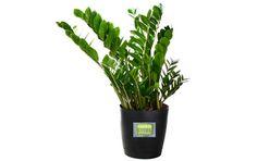 6 Hard-to-Kill Plants for the Recovering Brown Thumb ZZ plant zamioculas zamiifolia