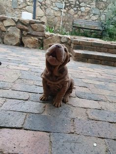 Too cute to be real! Love my Sharpei 😍 Shar Pei Fever, Baby Animals, Cute Animals, Black Tongue, Have A Beautiful Day, Doge, Mans Best Friend, Cloths, Lion Sculpture