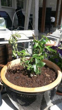 #pasjonsblomst  venter spent på blomstringen Thats Not My, Plants, Flora, Plant, Planting