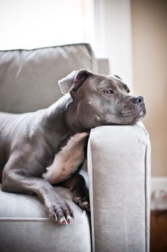 American Staffordshire Terrier Pitbull Dogs
