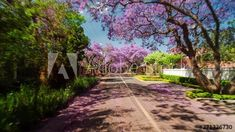 Driving through city streets of Pretoria, South Africa with Jacaranda trees in bloom, summer/sunny day. Timelapse/drive-lapse view from car, 4K 25p. #TLSA #wedoallthingstimelapse #stock #stockfootage #timelapse #southafrica Jacaranda Trees, City Scene, Pretoria, City Streets, Stock Video, High Quality Images, Sunny Days, Stock Footage, South Africa