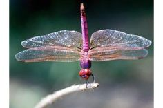 Learn facts and symbolism about the dragonfly and damselfly family Odonata, as well as how to attract dragonflies to your garden, from The Old Farmer's Almanac. Beautiful Bugs, Beautiful Butterflies, Beautiful Wall, Old Farmers Almanac, Dragonfly Tattoo, Dragonfly Photos, Dragonfly Art, Dragonfly Habitat, Dragonfly Larvae