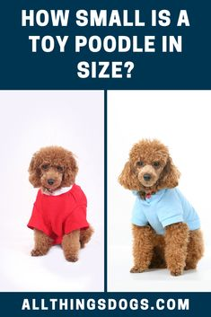 The Toy Poodle size means that they are more portable and a little easier to manage than their standard sized parents. Find more details on their height and weight in our breed guide. #toypoodle #toypoodlesize #poodle Toy Poodle Size, Small Poodle, Miniature Dog Breeds, Parents, Teddy Bear, Toys, Cute, Animals, Dads