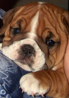 The major breeds of bulldogs are English bulldog, American bulldog, and French bulldog. The bulldog has a broad shoulder which matches with the head. Bulldog Puppies, Cute Puppies, Dogs And Puppies, Rottweiler Puppies, Baby Dogs, Pet Dogs, Dog Cat, Doggies, Pet Pet