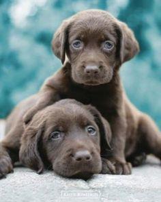 Chocolate Labrador Puppies....@Hayley Hengst ... Gunnar needs this dog!!
